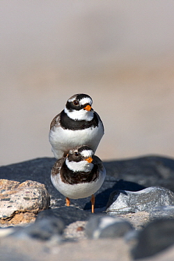 Common Ringed Plover (Charadrius hiaticula) pair mating, Helgoland, North Sea, Germany  -  Jan Wegener/ BIA