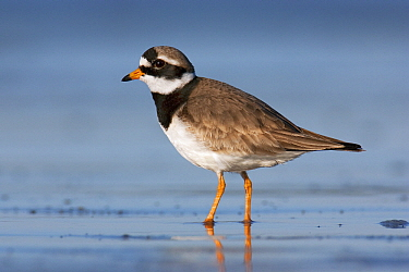 Common Ringed Plover (Charadrius hiaticula) in breeding plumage, Helgoland, North Sea, Germany  -  Jan Wegener/ BIA
