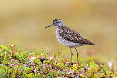 Wood Sandpiper (Tringa glareola) on tundra, Varanger Peninsula, Norway  -  Jan Wegener/ BIA