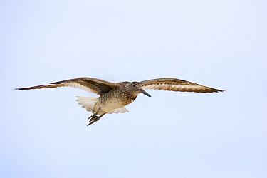 Willet (Tringa semipalmata) flying, Winnie, Texas  -  Jan Wegener/ BIA