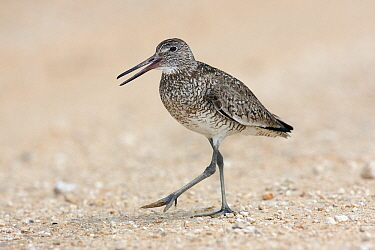 Willet (Tringa semipalmata) juvenile calling on beach, Winnie, Texas  -  Jan Wegener/ BIA