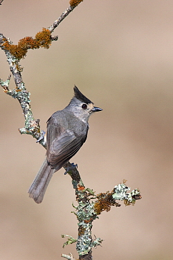 Black-crested Titmouse (Baeolophus atricristatus) perched on an old branch covered with lichens, Austin, Texas  -  Jan Wegener/ BIA