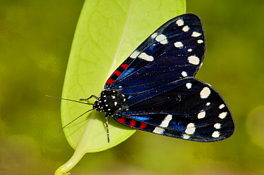 Faithful Beauty Moth (Composia fidelissima) on leaf, Prospect Point, Grand Cayman, Cayman Islands, British West Indies  -  Philip Friskorn/ NiS