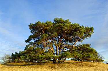 Scotch Pine (Pinus sylvestris) on sand dune, Drents-Friese Wold National Park, Appelscha, Friesland, Netherlands  -  Philip Friskorn/ NiS
