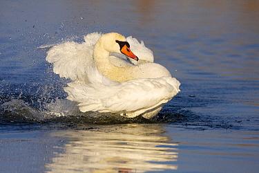 Mute Swan (Cygnus olor) bathing, Arkervaart, Gelderland, Netherlands  -  Jan Sleurink/ NiS