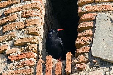 Alpine Chough (Pyrrhocorax pyrrhocorax) in niche of old building, Spain  -  Otto Plantema/ Buiten-beeld