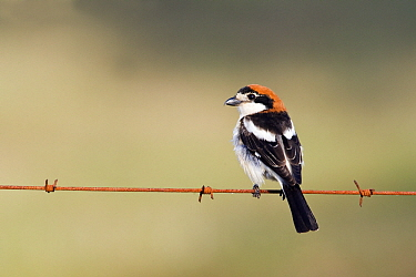 Woodchat Shrike (Lanius senator) male perched on barbed wire, Spain  -  Otto Plantema/ Buiten-beeld