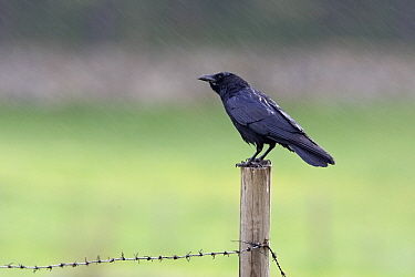 Carrion Crow (Corvus corone) on fence in rain, Spain  -  Otto Plantema/ Buiten-beeld