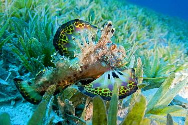 Two-stick Stingfish (Inimicus filamentosus), Red Sea, Egypt  -  Dray van Beeck/ NiS
