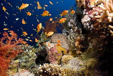 Sea Goldie (Pseudanthias squamipinnis) school at coral reef, Red Sea, Egypt  -  Dray van Beeck/ NiS