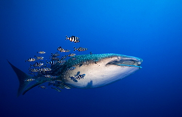 Whale Shark (Rhincodon typus) with symbiotic pilot fish, Red Sea, Egypt  -  Dray van Beeck/ NiS