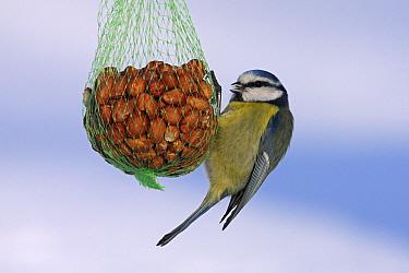 Blue Tit (Cyanistes caeruleus) hanging from bird feeder full of peanuts, Vriezenveen, Overijssel, Netherlands  -  Karin Rothman/ NiS