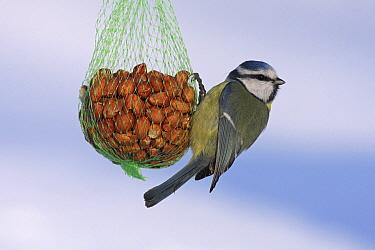 Blue Tit (Cyanistes caeruleus) hanging on net filled with peanuts, Vriezenveen, Overijssel, Netherlands  -  Karin Rothman/ NiS