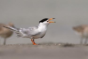 Forster's Tern (Sterna forsteri) calling, Corpus Christi, Texas  -  Marcel van Kammen/ NiS