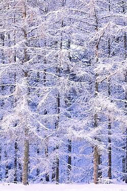 European Larch (Larix decidua) covered in snow, Putten, Veluwezoom National Park, Gelderland, Netherlands  -  Loulou Beavers/ NiS