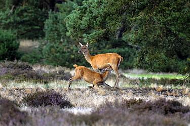 Red Deer (Cervus elaphus) suckling, National Park De Hoge Veluwe, Gelderland, Netherlands  -  Jan Vermeer
