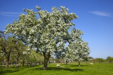 Cultivated Apple (Malus domestica) blossoming, Echteld, Gelderland, Netherlands  -  Aad Schenk/ NiS