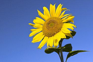 Common Sunflower (Helianthus annuus), Vechta, Niedersachsen, Germany  -  Willi Rolfes/ NIS