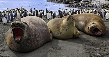 Southern Elephant Seal (Mirounga leonina), Crozet Islands, France  -  Goetz Eichhorn/ NiS