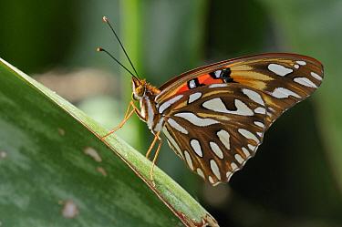 Gulf Fritillary (Agraulis vanillae) butterfly, Grand Cayman, Cayman Islands, Caribbean  -  Philip Friskorn/ NiS