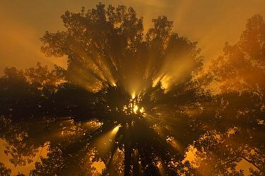Sunrise through trees, Kearney, Missouri  -  Philip Friskorn/ NiS