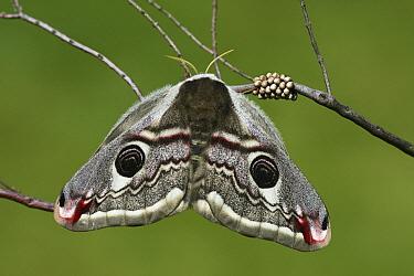 Emperor Moth (Pavonia pavonia) female showing eyespots with eggs, Engbertsdijksvenen, Overijssel, Netherlands  -  Karin Rothman/ NiS