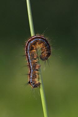 Lackey Moth (Malacosoma neustria) caterpillar, Overijssel, Netherlands  -  Karin Rothman/ NiS