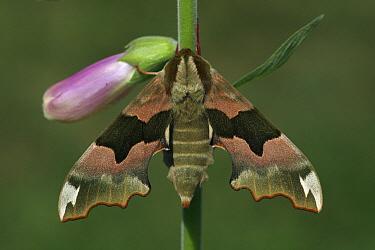 Lime Hawk Moth (Mimas tiliae) female on Purple Foxglove (Digitalis purpurea), Vriezenveen, Overijssel, Netherlands  -  Karin Rothman/ NiS
