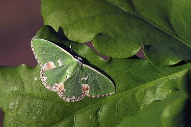 Blotched Emerald (Comibaena bajularia) moth camouflaged on leaf, Engbertsdijksvenen, Overijssel, Netherlands  -  Karin Rothman/ NiS
