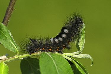 Dark Tussock (Dicallomera fascelina) caterpillar eating leaf, Engbertsdijksvenen, Overijssel, Netherlands  -  Karin Rothman/ NiS