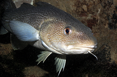 Atlantic Cod (Gadus morhua), North Sea, Netherlands  -  Hans Leijnse/ NiS
