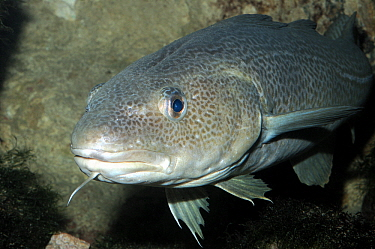 Atlantic Cod (Gadus morhua) swimming between rocks, North Sea, Netherlands  -  Hans Leijnse/ NiS