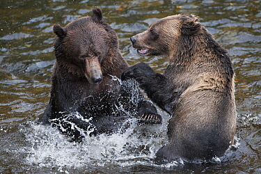 Grizzly Bear (Ursus arctos horribilis) pair playing in river, Glendale River, British Columbia, Canada  -  Andre Gilden/ NIS