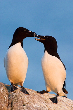 Razorbill (Alca torda) pair bonding, Saltee Island, Ireland  -  Jasper Doest