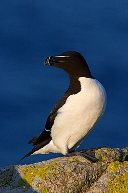 Razorbill (Alca torda) at the coast, Saltee Island, Ireland  -  Jasper Doest
