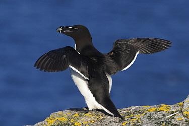 Razorbill (Alca torda) spreading wings, Saltee Island, Ireland  -  Jasper Doest
