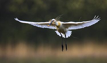Eurasian Spoonbill (Platalea leucorodia) flying with nesting material, Texel, Noord-Holland, Netherlands  -  Jasper Doest