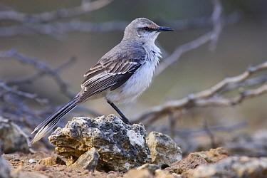 Tropical Mockingbird (Mimus gilvus) perched on a stone, Curacao, Dutch Antilles, Caribbean Sea  -  Jasper Doest