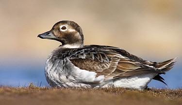 Long-tailed Duck (Clangula hyemalis) female, Svalbard, Arctic Ocean, Norway  -  Jasper Doest