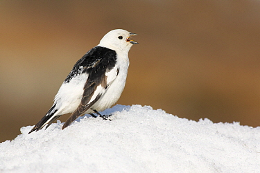 Snow Bunting (Plectrophenax nivalis) male calling in the snow, Svalbard, Arctic Ocean, Norway  -  Jasper Doest