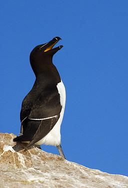 Razorbill (Alca torda) calling, Saltee Island, Ireland  -  Jasper Doest