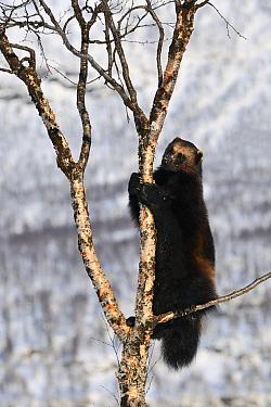 Wolverine (Gulo gulo) climbing tree, Norway  -  Jasper Doest