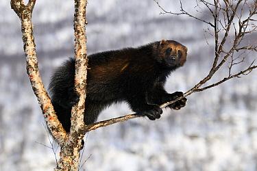 Wolverine (Gulo gulo) in a tree, Norway  -  Jasper Doest