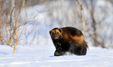 Wolverine (Gulo gulo) in the snow, Norway  -  Jasper Doest