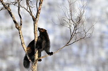 Wolverine (Gulo gulo) climbing in a tree, Norway  -  Jasper Doest