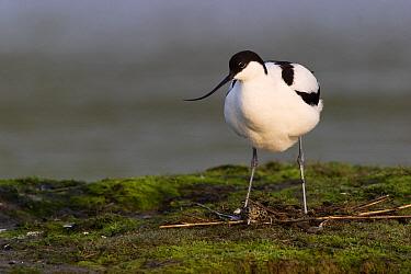Pied Avocet (Recurvirostra avosetta), Texel, Noord-Holland, Netherlands  -  Jasper Doest