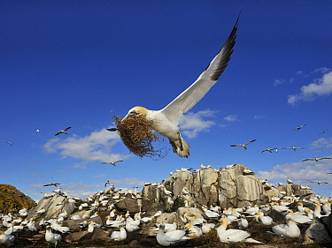 Northern Gannet (Morus bassanus) flying over breeding colony with nesting material, Saltee Island, Ireland  -  Jasper Doest