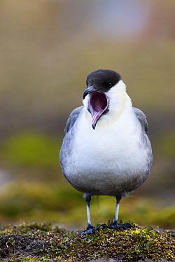 Long-tailed Jaeger (Stercorarius longicaudus) calling, Svalbard, Norway  -  Jasper Doest