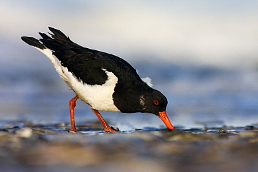 Eurasian Oystercatcher (Haematopus ostralegus) foraging on the beach, Hoek van Holland, Zuid-Holland, Netherlands  -  Jasper Doest