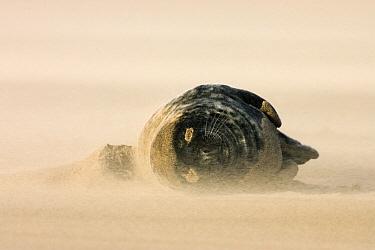 Grey Seal (Halichoerus grypus) lying on beach in blowing sand, Donna Nook, Lincolnshire, United Kingdom  -  Jasper Doest
